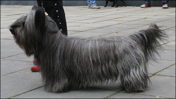 El Clydesdale terrier es un pequeño terrier resultante de la crianza selectiva del Skye terrier. Se distingue por sus diminutas orejas erguidas y su pelaje.