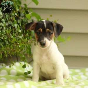 Jack Russell Terrier Puppies For Sale | Mi amore | Terrier