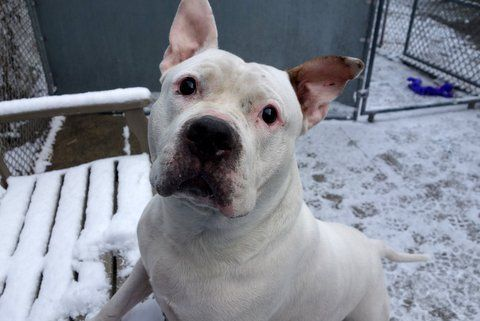 SNOW - A1101021 - - Manhattan  TO BE DESTROYED 01/09/17 **ON PUBLIC LIST** A volunteer writes: A big bulky boy in a white coat (thus named Snow), clearly fed with love, is ready to come out for a walk. He didn't want a coat and I could hear him thinking, 'hey lady, they didn't name me Snow for nothing — I don't mind the snow'. So, me bundled up, and Snow coatless, we head outside where Snow goes potty right away, and off we go. Ignoring s