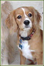 Petite Golden Retriever-->Cavalier King Charles Spaniel, golden retriever mix!!!! Getting this!!