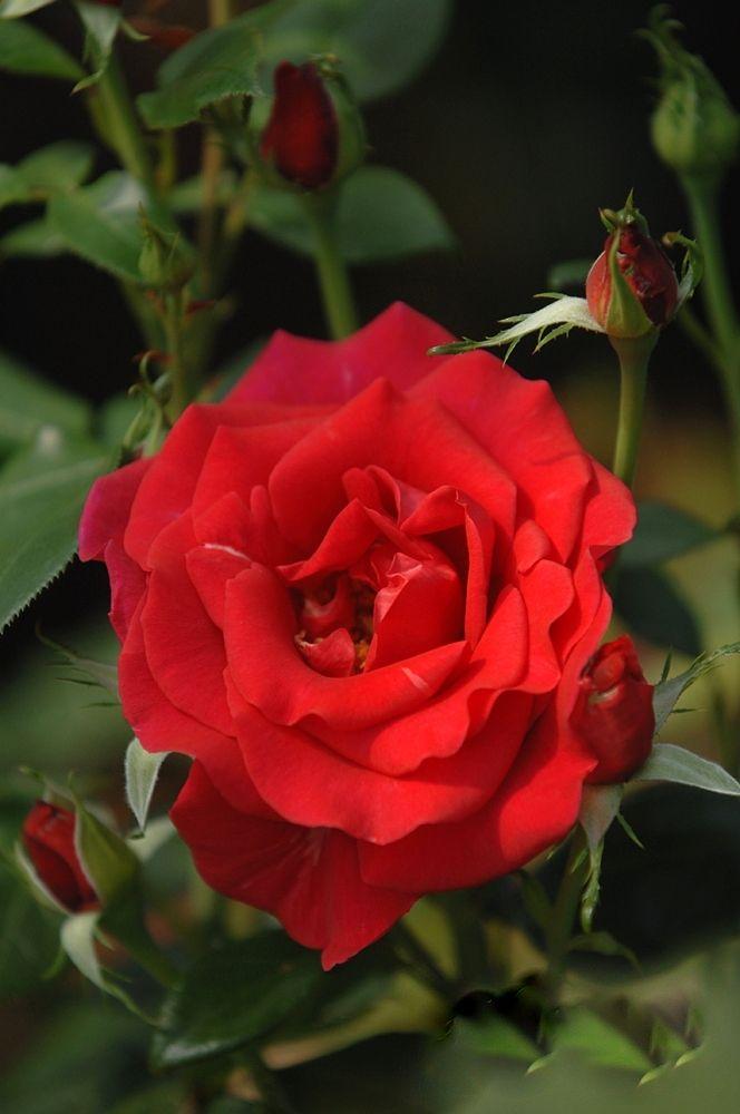 'Le Grand Huit CLG' (2001) – syn.  'Commandant Cousteau, CLG', 'Red Flame'. TH. Dubbele, bloedrode bloemen (10-12cm).  Het parfum met toetsen van framboos is zo intens, dat de afgeplukte bloemen, eens ze gedroogd zijn, nog maandenlang in een schaaltje hun geur verspreiden. Ideaal dus om zelf een potpourri van te maken. Zeer gezond. Donkergroen glanzend blad. 4m x 1m.