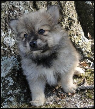 pomeranian puppies for sale in texas cheap 17 best ideas about pomeranian puppies for sale on 6511