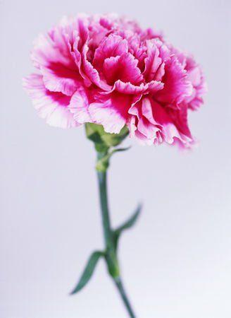 Szegfű: A szeszélyesség és a komoly szerelem virága. A szegfű a szegfűvirágúak rendjébe, ezen belül a szegfűfélék családjába tartozó nemzetség.