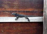 Brian  Hanna - Iguana on Sign, isabela island, Galapagos, Ecuador. Photo available on www.fineartamerica.com