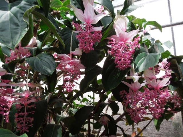 SHOWY PINK BLOOMS - MEDINILLA MAGNIFICA - DUTCH AUCTION