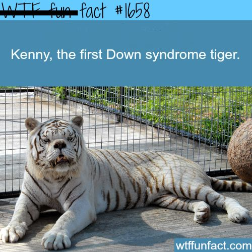 Picture of the first down syndrome tiger - WTF fun facts