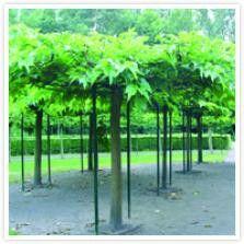 Morus alba 'Platanifolia'  DE WITTE MOERBEI is een bladverliezende breed uitgroeiende boom. Heeft zeer grote glanzende bladeren die een prachtig dak vormen. 'Zomers roze, rode of paarse vruchten die eetbaar zijn.