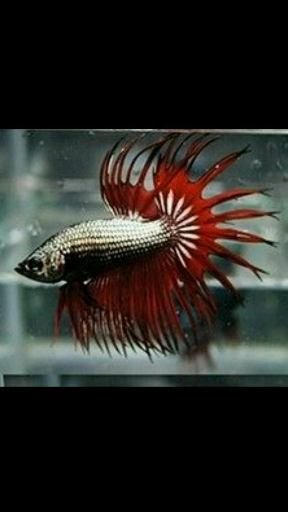 Dragon crowntail male 1 year old in pet supplies fish for Ebay live fish
