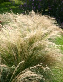 Pony Tails Grass - Stipa tenuissima, also known as Mexican Feather Grass. USDA zones 7-10.  Very drought tolerant. Also beautiful in containers.