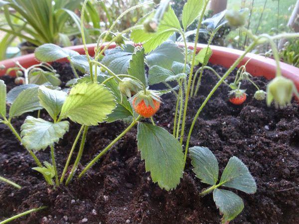 78 best images about arboles frutales on pinterest l for Plantas frutales