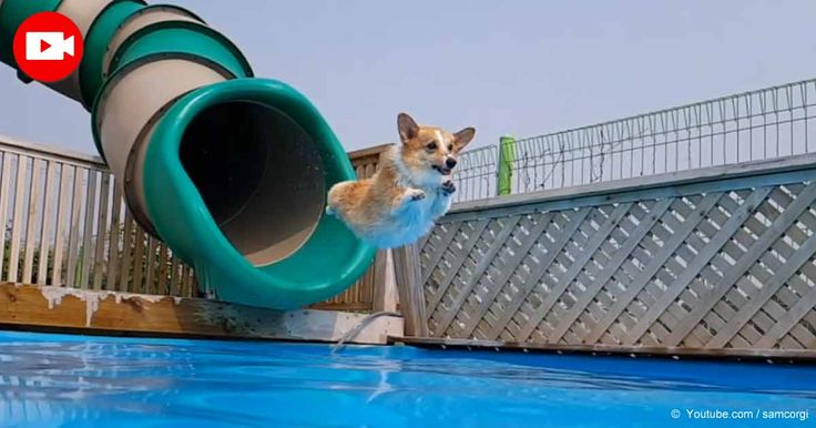 A collection of Corgis is having a blast in a pool. Watch as they fearlessly…