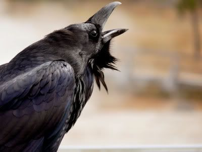 raven birds | Raven Relaxing by Kristen Gilbertson Olesen
