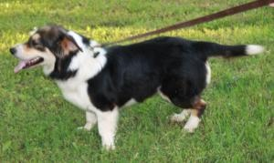 Diane is an adoptable Border Collie Dog in Medfield, MA. Meet Diane! Diane is a border collie/basset mix. She was abandoned with her puppies by her previous owner and was slated to be euthanized in a ...