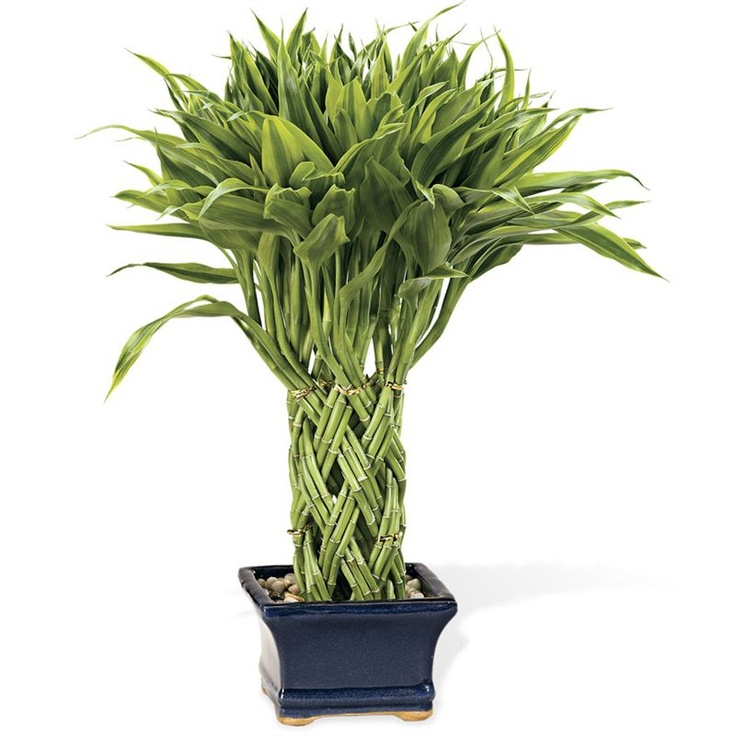 111 best lucky bamboo images on pinterest indoor plants inside plants and bamboo. Black Bedroom Furniture Sets. Home Design Ideas