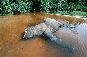 Poachers kill over 11,000 elephants in Gabon.   A new study confirms what has been long suspected: elephant populations are being decimated to the point that the survival of the species in Central Africa is now in question.    SIGN THE PETITION TO BAN IVORY TRADE IN THAILAND