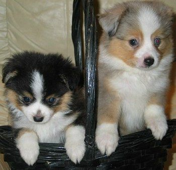 Tea Cup Australian Shepherds  Didn't know there was such a breed.  Adorable!