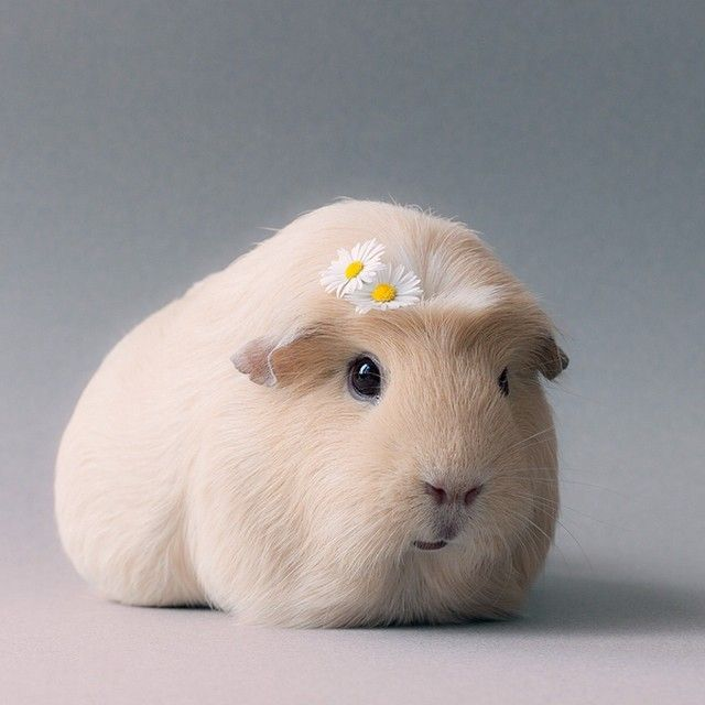 Booboo Guineapig with Daisies in Hair