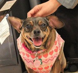 Muttville: Rescue, foster, adoption, and hospice for senior dogs, and support and education for the people that love them #nickelodeon #hotel http://hotels.remmont.com/muttville-rescue-foster-adoption-and-hospice-for-senior-dogs-and-support-and-education-for-the-people-that-love-them-nickelodeon-hotel/  #hospice for dogs # Dachsund mix | Female | Size: small (6-20 lbs) Pumpkin may seem a bit shy when you first meet her, but it doesn t take her long to come out of her shell and into your lap…