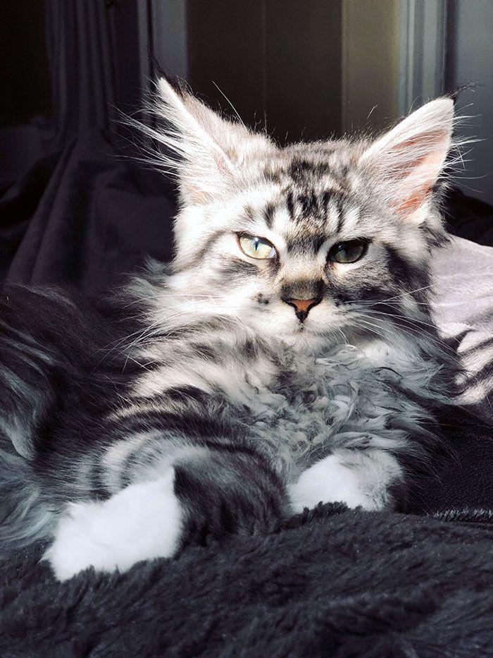 Meine 14 Wochen alte Coonie, Django. Schön wie immer  – Maine Coon Cats
