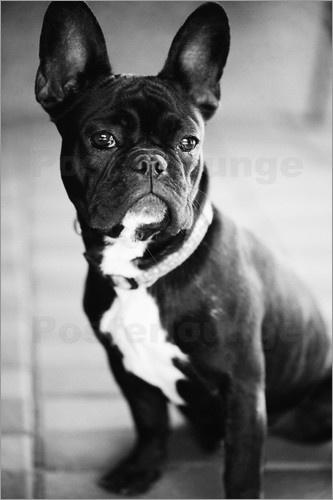 Als Poster in den eigenen vier Wänden ist diese französische Bulldogge genau so treu und anhänglich wie im echten Leben. Noch dazu bildet sie einen einmaligen Blickfang.