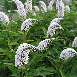 Gooseneck loosestrife.  I've grown these before and they like to spread.  Like full sun to partial shade blooming summer to fall.