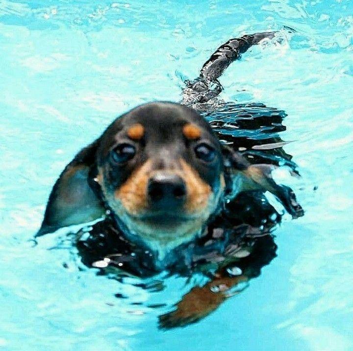 All The Things We Admire About The Smart Daschund Puppy Daschundmom Daschundaddict Dachshundpuppies Dachshund Dog Daschund Puppies Dachshund Breed