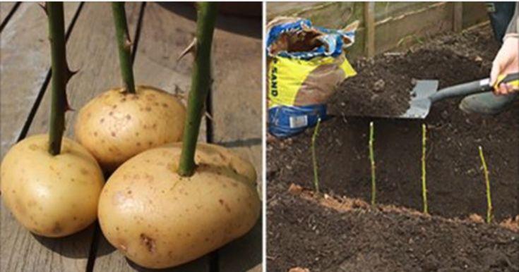Hvis du ikke har tænkt dig at koge samtlige kartofler i dit forråd, kan du bruge dem til at forskønne din have.