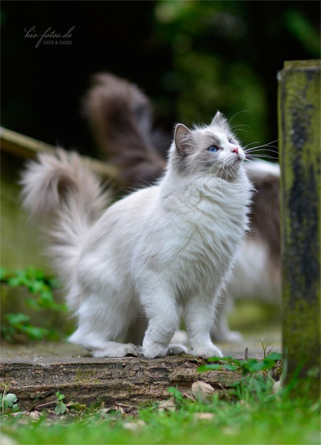 Ragdoll Cat... So fluffy and majestic, they are a beautiful breed.                                                                                                                                                      More