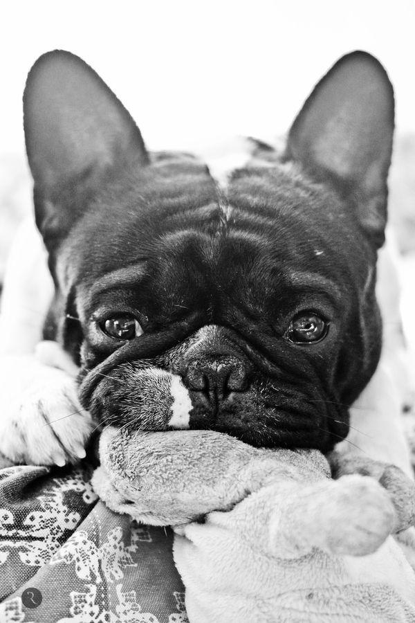 He Looks Like An Old Little Grandpa French Bulldog Bulldog
