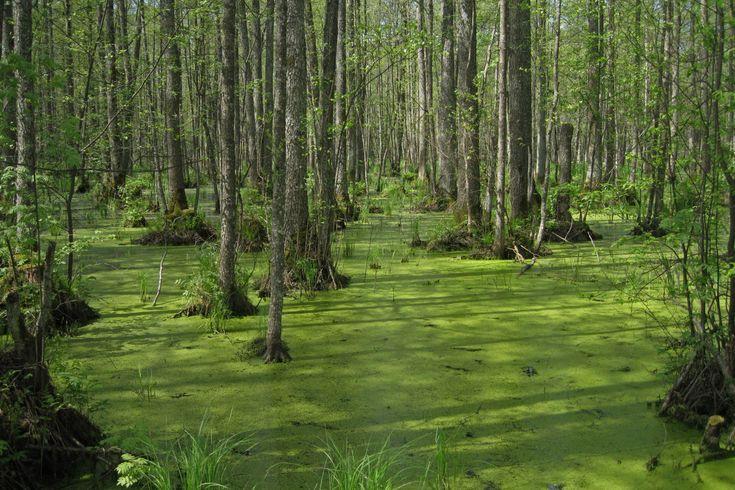 Forest near Slokas lake