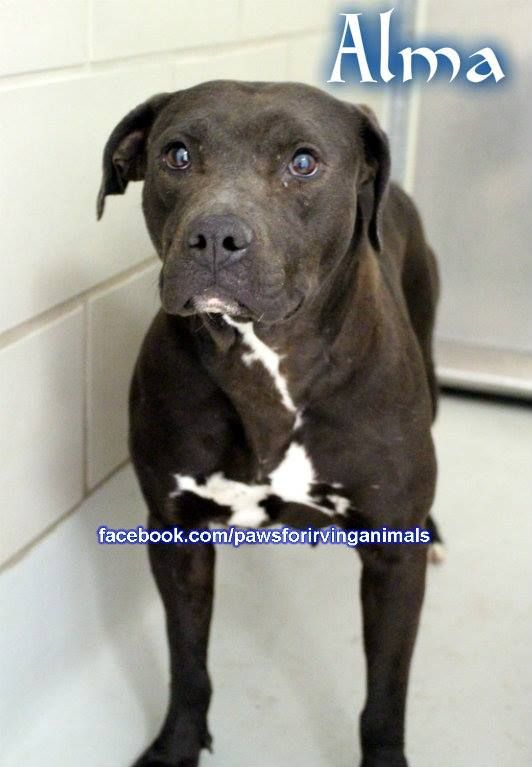 #CODERED- MUST BE TAGGED BY FRI 4/25, OUT BY SAT 4/26. Irving Animal Shelter - #Irving TX. NAME: Alma DONATE: http://www.petcaring.com/pet-expenses/alma-pit-x-/38011 Female Pitbull, ANIMAL ID: 22389062. https://www.facebook.com/photo.php?fbid=638838519523604&set=a.376332269107565.88599.375915849149207&type=1&theater