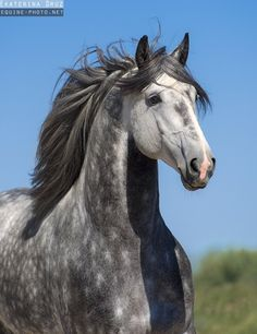 Lusitano stallion named Fiel – from Lusitano Horse Finder
