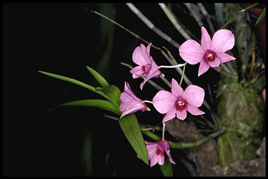Dendrobium phalaenopis photo (08-30)