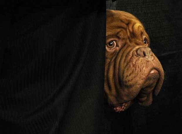 Dogue de Bordeaux at the Westminister Kennel Club, 2012.