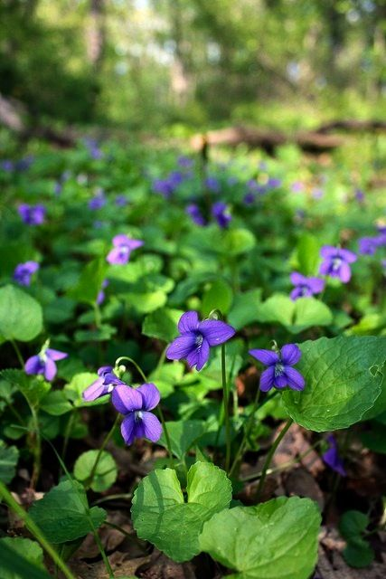 Dog violets in spring. Excellent groundcover for erosion control. Flowers and leaves are edible.