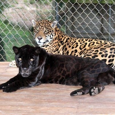 Check out the spots on these Jaguars at Dade City's Wild Things