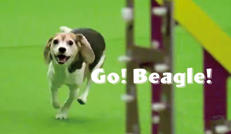 犬の障害物競争とも説明されるアジリティ競技。競技の中で犬たちは、ハンドラーの指示に集中し、華麗に障害物を越えていきます。 しかし、緊張と集中の最中にも「ハッ」と普段のイヌに戻ってしまうコもいます。アメリカ最大規模のドッグショー、ウエストミンスター・ケネル・クラブ・ドッグショー(Westminster Kennel Club Dog Show)のアジリティ競技に参加したミア(Mia)がそのコ。 元気いっぱいで運動大好きなミアは、アジリティ競技がとっても得意。しかし一方で、マイペースなところもあるようです。 競技の途中で「ハッ!」となり、普段のイヌに戻ってしまいます。 「ハッ、お尻。気になる…」クンクンクン。 「ハッ、誰かのニオイ。気になる…」クンクンクン。 「ハッ、誰かに見られてる。気になる…」ジーっ。 得点こそ悲惨なものでしたが、会場の人気をさらったミアが大会を楽しんだことは、間違いないようです。 Featured image credit Watch Westminster Dog Show Contestant Get Distracted During Agili...