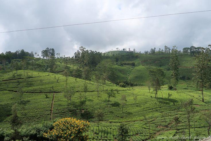 Teeproduktion in Sri Lanka. Die Arbeitsbedingungen für die Pflückerinnen sind hart.