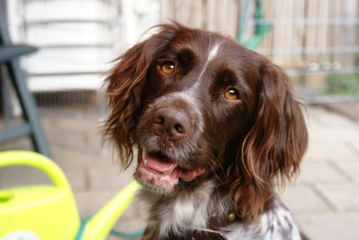 Munsterlander Dog For Sale