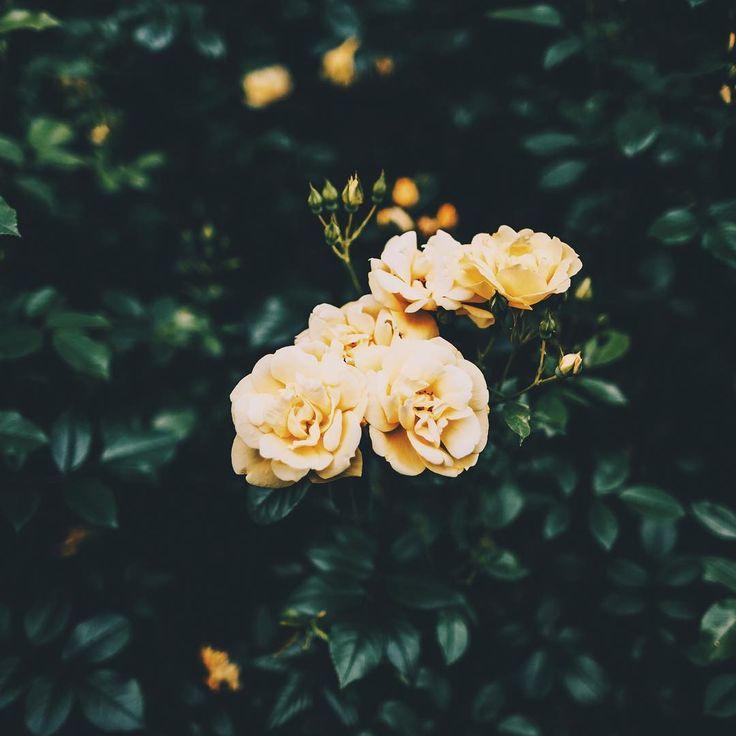 @wzzly Instagram #rose #yellow #yellowrose #green #nature #focus