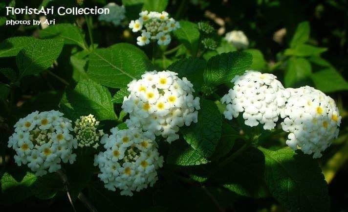 24 Gambar Bunga Lantana Camara Aneka Bunga Di Halaman Rumah Ibu 6 Halaman All Biji Benih Tanaman Bunga Bonsa Bunga Lantana Ca Di 2020 Tembelekan Benih Tanaman Flora