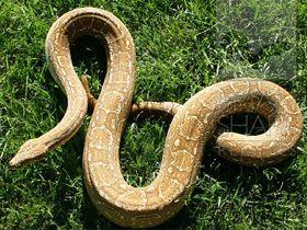 Boa Yılanı Çenesini, Küçük Bir Ceylanı Yutabilecek Kadar Açabilir.