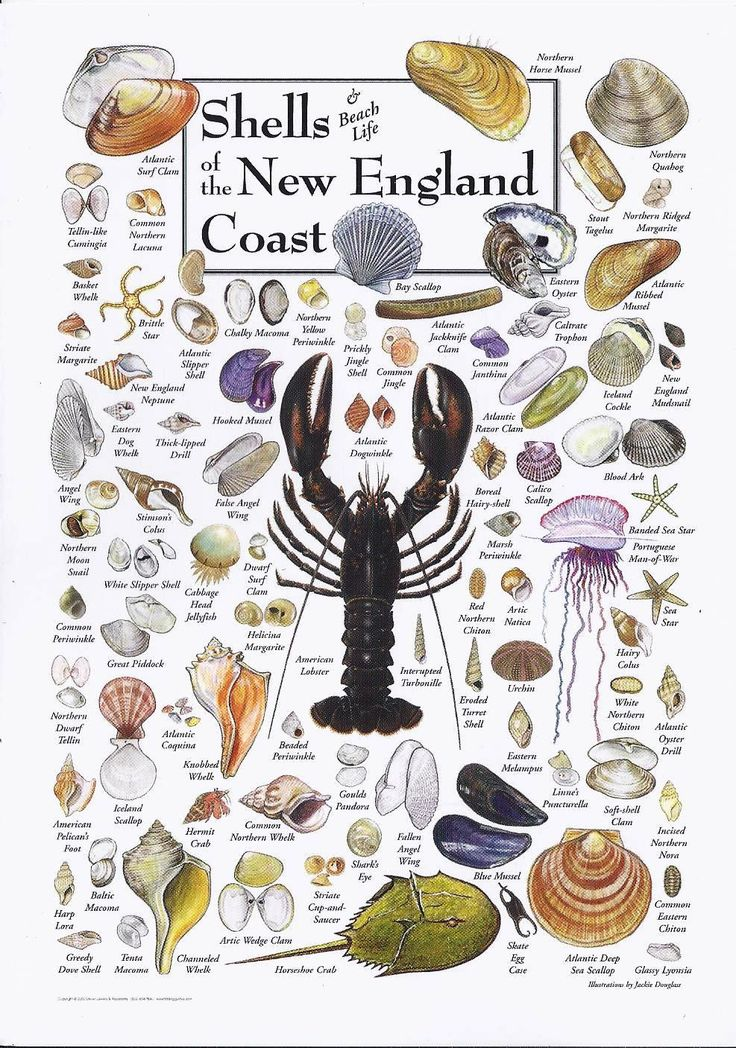 Shells of New England