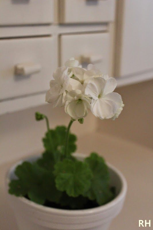 Versoja Vaahteramäeltä: valkoinen Mårbacka pelargoni  Pelargonium zonale ´Vit Mårbacka` Geranium, Pelargonium ペラルゴニウム