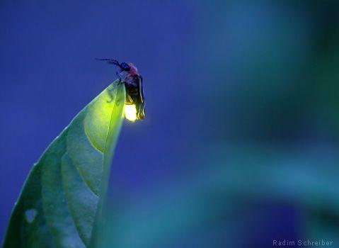 Fireflies use bioluminescence to attract mates.