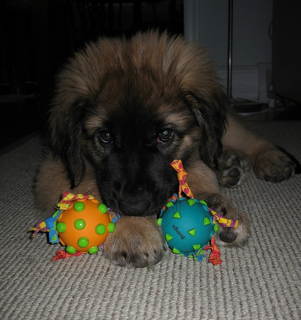 Five Best German Dog Breeds