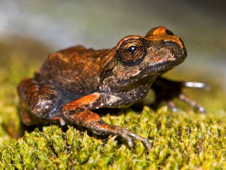 Rana de Lircay (Alsodes hugoi) Altos de Lircay (Región del Maule) Chile Fauna