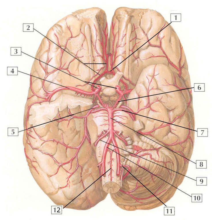 12 best Neuro images on Pinterest | The brain, Anatomy and ...