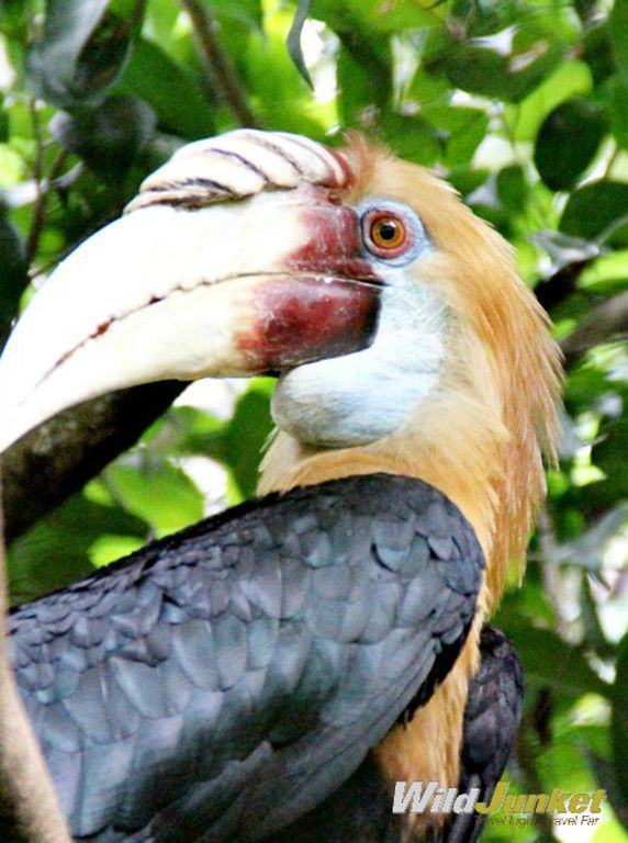 A male Papuan Hornbill (Rhyticeros plicatus)... you can see this amazing bird…