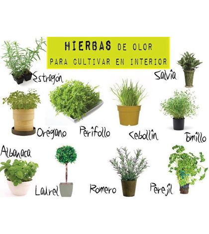 Hierbas de olor para cultivar en el interior plantas for Plantas aromaticas para cocinar